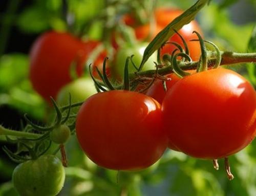 Lans Tomatoes