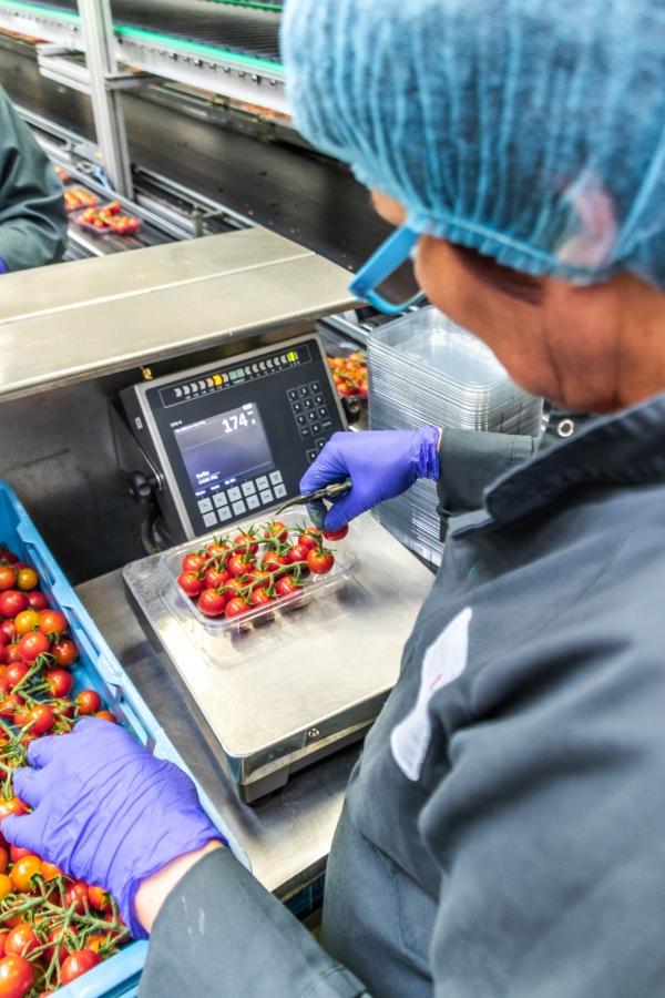 Slim wegen van tomaten bij Looye Kwekers